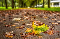 Fallen leaf on wet asphalt. Recently fallen leaf, still greenish yellow amidst more brownish leaves on a wet asphalt road in autumn Stock Images