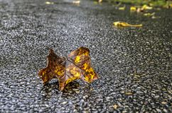 Fallen leaf on wet tarmac. Close-up of a yellow and brown fallen leaf on a wet asphalt road on a rainy day in autumn Stock Photography