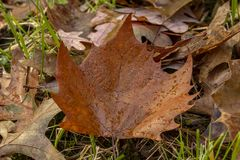 A fallen leaf that will be back in the Spring. Fallen leaves are a sign that autumn is here and winter is on the way royalty free stock photos