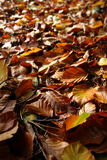 Fallen leafs. Brown leafs on the forest-floor, shallow focus Royalty Free Stock Image