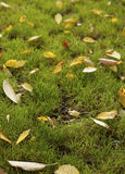 Fallen leafs. Of green grass lawn Royalty Free Stock Photos