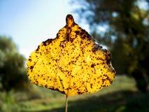fallen leafyellow Fotografering för Bildbyråer