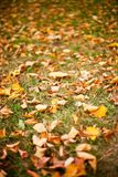Fallen leaves. Beautiful background with fallen leaves on grass Stock Images