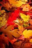 Fallen Leaves. Colorful leaves on the ground Royalty Free Stock Photos
