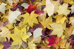 Fallen leaves. Various red and yellow fallen leaves Stock Image