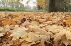 Fallen leaves. Fallen maple leaves in the Krestovsky Park Royalty Free Stock Image