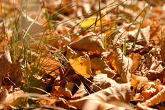Fallen leaves. Bright yellow fallen leaves on the ground Royalty Free Stock Photography