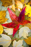Fallen Leaves. Colorful Autumn leaves on a city sidewalk stock image