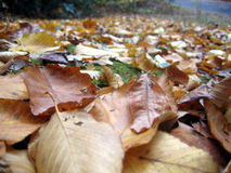 Fallen leaves. Leaves on the ground royalty free stock photos