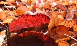 Fallen leaves. Even fallen leaves are beautiful too Royalty Free Stock Photos