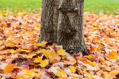 Fallen leaves around a tree trunk. Fallen autumn colored leaves on a lawn around a tree trunk Stock Photography