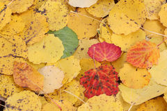 Fallen leaves of an aspen in the fall Royalty Free Stock Images