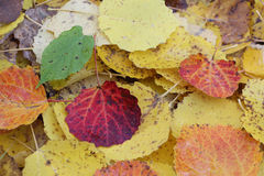 Fallen leaves of an aspen in the fall Stock Photography