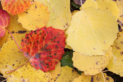 Fallen leaves of an aspen in the fall Stock Image