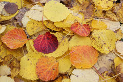 Fallen leaves of an aspen in the fall Royalty Free Stock Photo