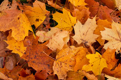 Fallen leaves in autumn. Royalty Free Stock Photos