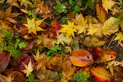 Fallen leaves. The fallen leaves in Autumn Stock Photo