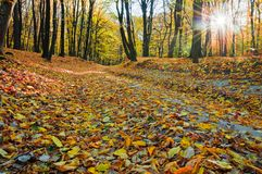 Fallen leaves in autumn forest.  royalty free stock photo