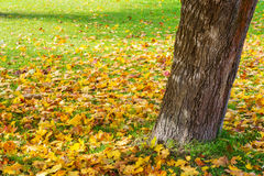 Fallen leaves in autumn forest Royalty Free Stock Photo