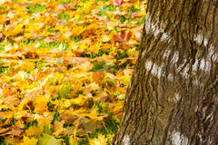 Fallen leaves in autumn forest Royalty Free Stock Photos