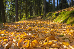 Golden leaves in autumn forest Royalty Free Stock Images
