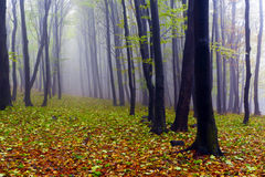 Fallen leaves in autumn forest and mysterious fog. Stock Photos