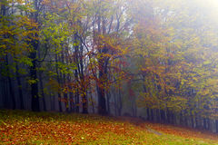 Fallen leaves in autumn forest and mysterious fog. Stock Image