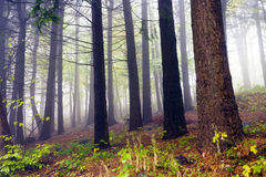 Fallen leaves in autumn forest and mysterious fog. Royalty Free Stock Images