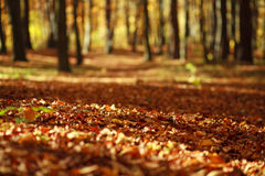 Fallen leaves in autumn forest in the rays of the evening sun Royalty Free Stock Photo