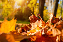 Fallen leaves in autumn forest Royalty Free Stock Photography