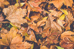 Fallen Leaves. Fallen autumn leaves laying on ground Stock Photography