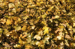 The fallen leaves Royalty Free Stock Photos