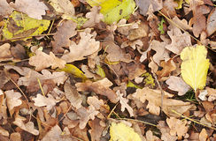 Fallen leaves in autumn Royalty Free Stock Photos