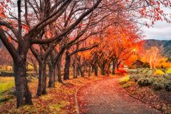 Fallen Leaves on the Autumn Path in Japan. Fallen leaves after rain in autumn on a park path in Fujikawaguchiko, a resort town on the side of Lake Kawaguchi in stock photo
