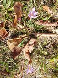 Leaves. Fallen leaves in autumn and purple saffron flowers stock photography