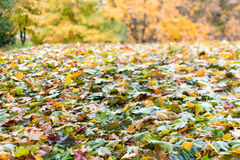 Fallen leaves in autumn season Stock Photography