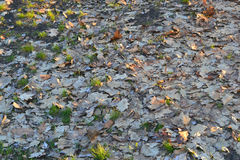 Fallen leaves. Of autumn trees carpet Royalty Free Stock Images