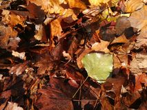 Lively closeup of falling autumn leaves with vibrant backlight from the sun Stock Photography