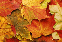 Fallen leaves background Royalty Free Stock Photo