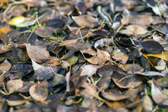 Fallen leaves background Royalty Free Stock Image