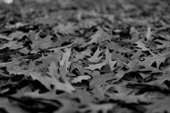 Black and White fallen leaves. Black and white photography details of fallen leaves on the ground tiny depth of field blurred background royalty free stock photography