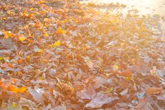 Carpet of fallen leaves on road at sunset stock photo