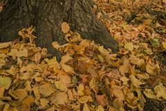 Fallen leaves on the bottom of chesnut tree. Autumn season typical scene fallen yellow leaves on the bottom of a tree and fully cover the ground stock photo