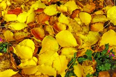 Leaf litter, with Bright Colours of Yellow, Red, Brown, all coming from a Manchurian Pear Tree. stock photos