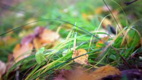 Fallen leaves on the bright green grass. Shallow stock footage