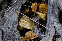 Fallen Leaves Caught in the Gnarled Roots Royalty Free Stock Photos