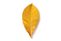 Fallen leaves with clipping path Royalty Free Stock Photography
