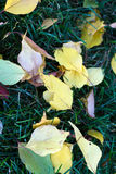 Fallen leaves. Colorful autumn leaves on the grass Royalty Free Stock Images