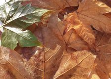 Fallen leaves. Composition with some dry fallen leaves in autumn Stock Photography
