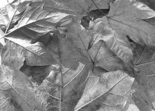 Fallen leaves. Composition with some dry fallen leaves in autumn Stock Images